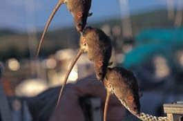 rat-3-rope